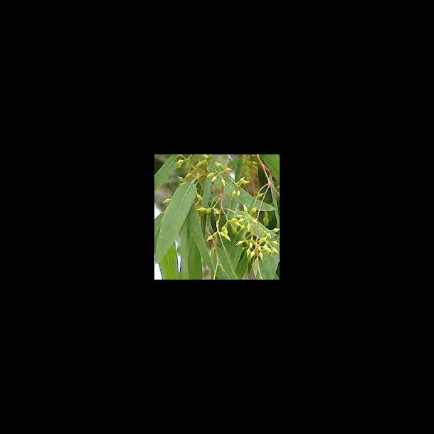 Eucalipto foglie (100 g)